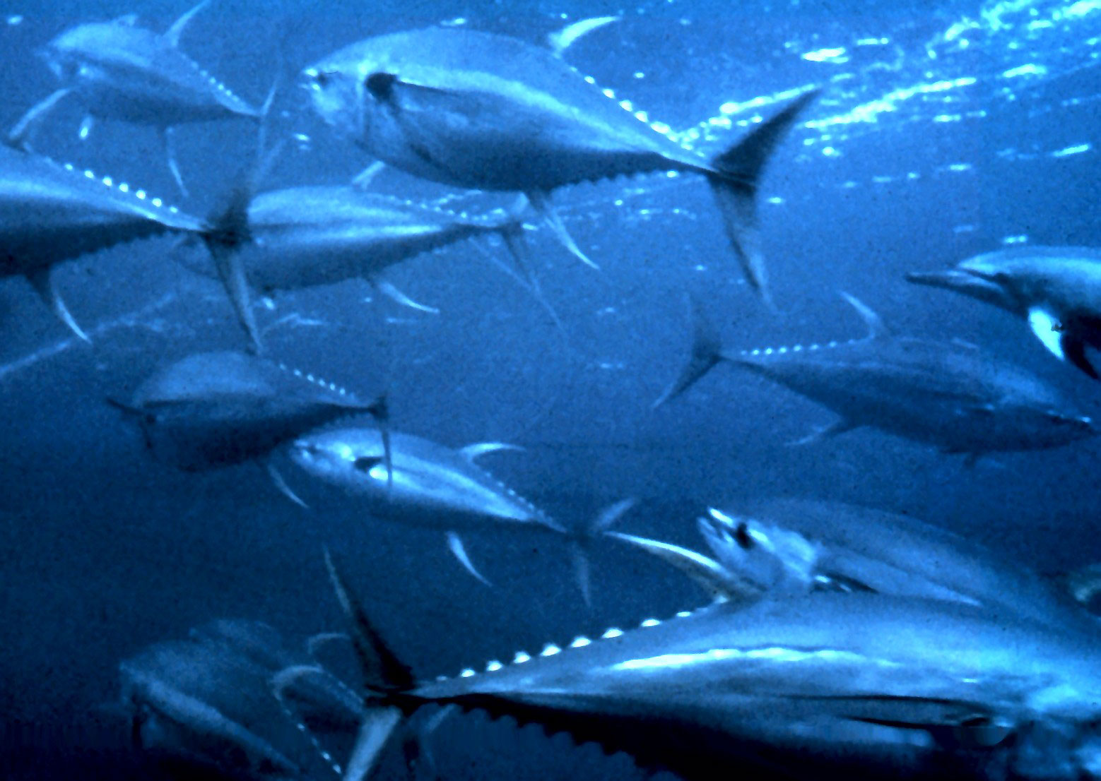 facts about tuna
