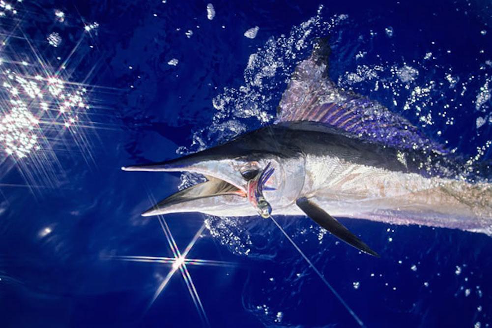 spearfish_1734856i