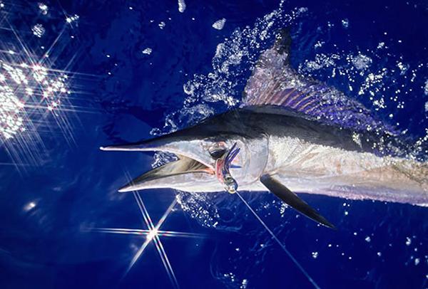 Kona Fish Spotlight Part Seven: Ten Amazing Facts about Spearfish